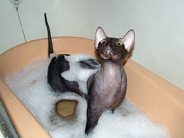Cleaning, Grooming And Bathing A Hairless Cat