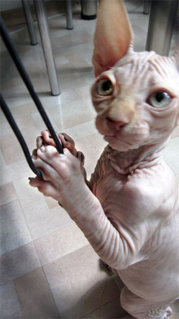 facts about hairless cats