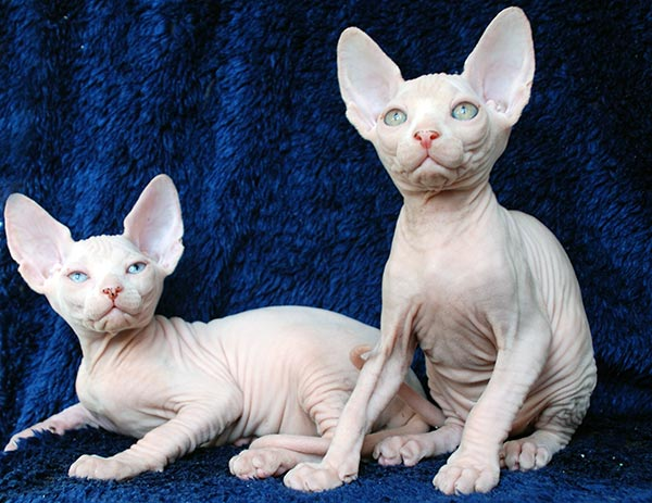 grooming hairless cat