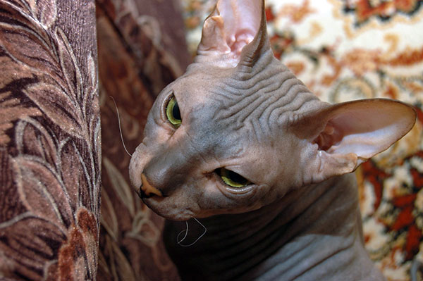 Beautiful Ideas For Grooming Hairless Cat
