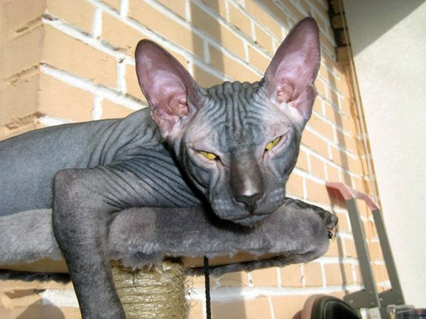 Best Food To Feed A Sphynx Cat