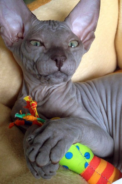 blue hairless cat