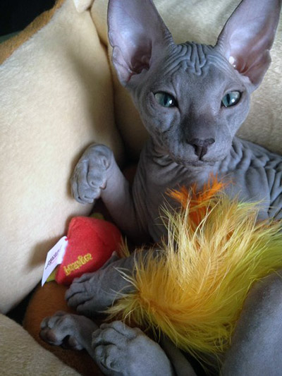 blue hairless sphynx cat