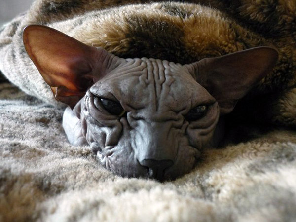 Awesome Facts To Explore About Blue Sphynx