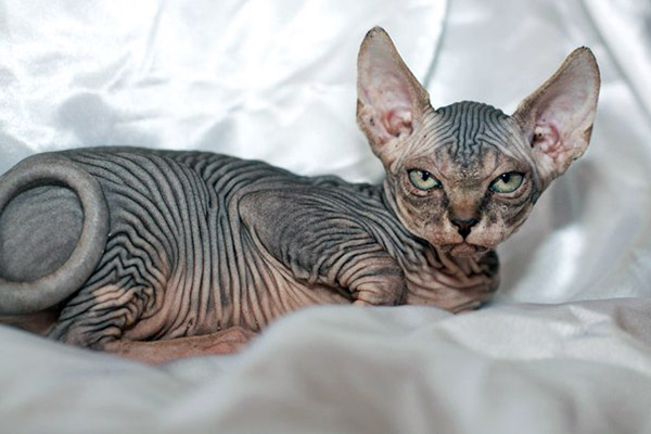 canadian hairless cat for sale