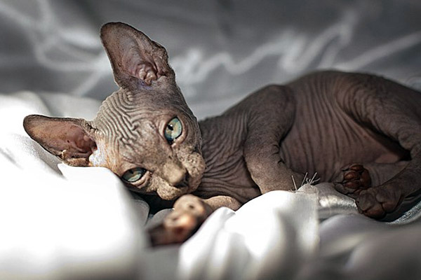 Consider Few Points While Buying Canadian Sphynx