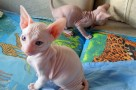 caring for a sphynx kitten