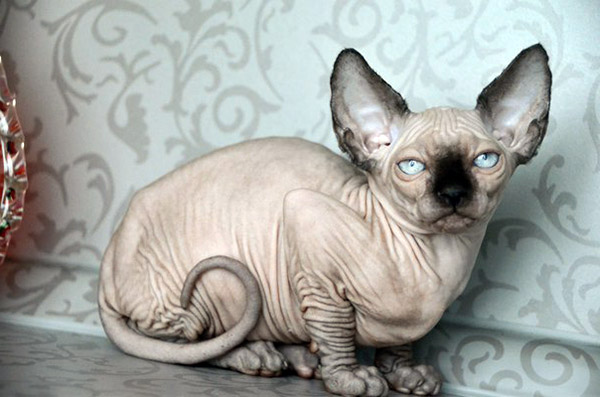names for sphynx cats