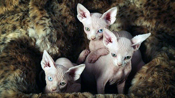 Delightful Facts Explaining Sphynx Kittens