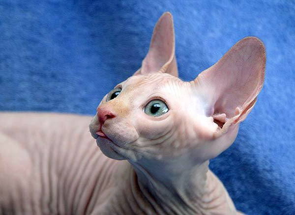 hairless egyptian cat