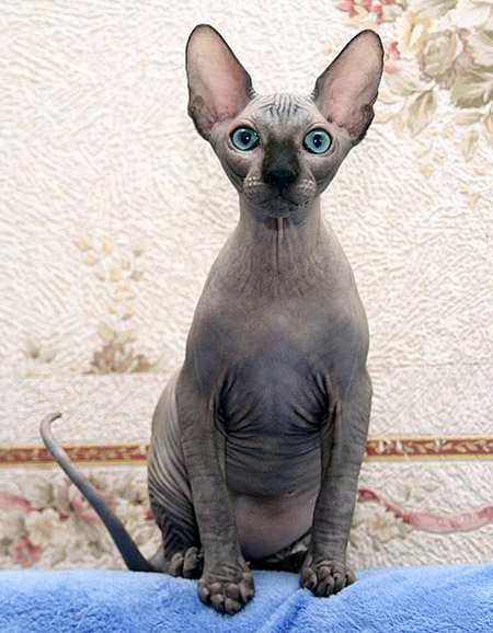 hairless egyptian sphynx cat