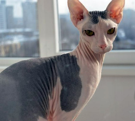 mexican cat with no hair