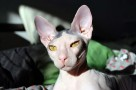 mexican hairless cat