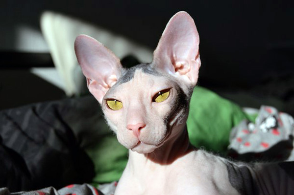 Cute Mexican Hairless Cats