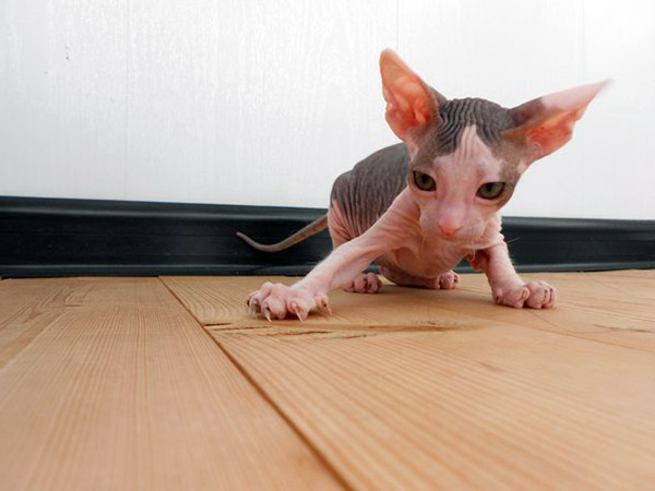 mexican sphynx kitten playing