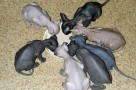 best diet for sphynx cats