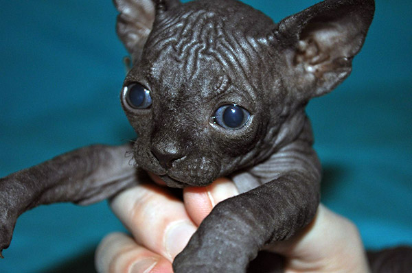 black hairless cat