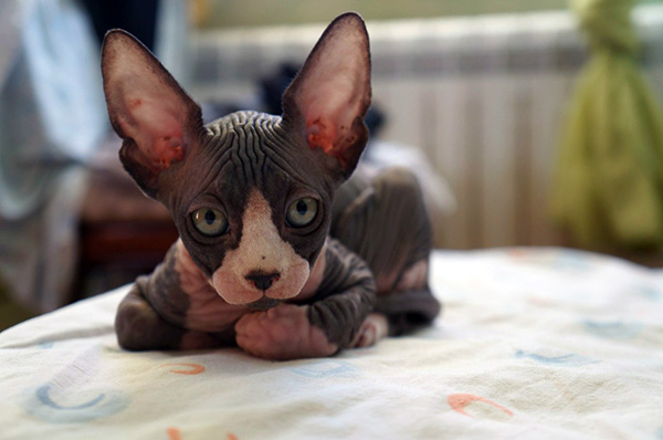 hairless sphynx cat for sale