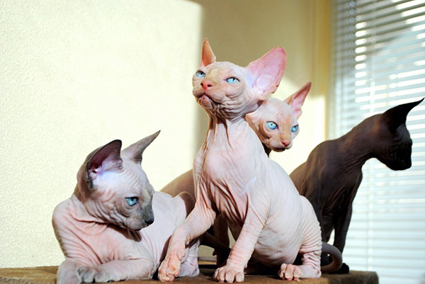 hairless cat breeds