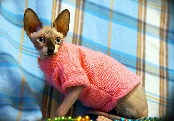 Hairless Cats in Clothes Sphynx Cat Clothes to Ensure