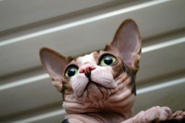 sphynx cat personality