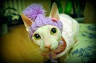 hairless cats and allergies