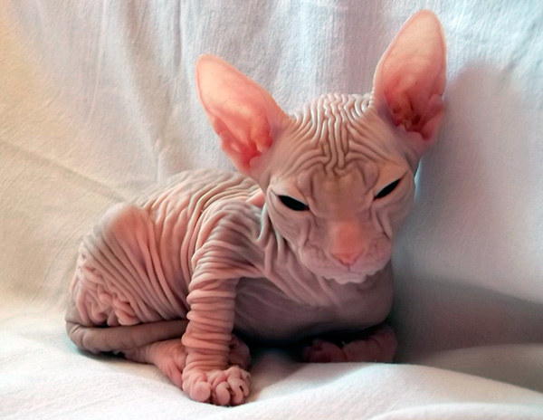 types of hairless cats
